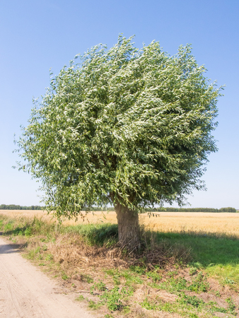 great sallow: Goat willow (Salix caprea) is a common species of willow native to Europe and western and central Asia. Stock Photo