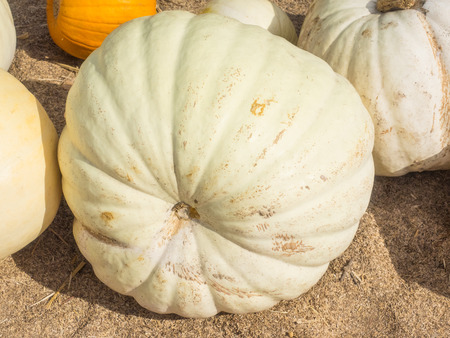 stackable: White Flat Boer  is an edible pumpkin in other parts of the world that can be used as an ornamental decoration for Halloween and Fall.