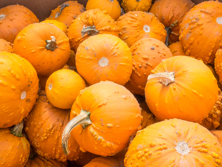 varying: Knucklehead pumpkins are bright to deep orange in color and covered in varying amounts of warts, scabs or bumps. Stock Photo