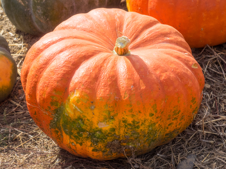 cinderella pumpkin: Cinderella pumpkins have a vivid, red-orange, hard exterior and a somewhat flattened shape with deep, characteristic lobes. Stock Photo