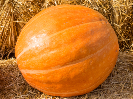 coloration: Pumpkin (Cucurbita pepo) is a cultivated plant that is round, with smooth, slightly ribbed skin and deep yellow to orange coloration.