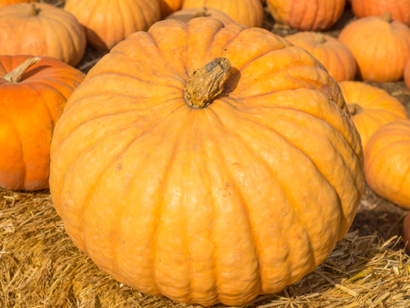 flattened: Long Island Cheese Pumpkin is medium-large, flattened, medium-ribbed, suggesting a wheel of cheese.