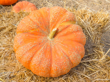 flattened: Cinderella pumpkins have a vivid, red-orange, hard exterior and a somewhat flattened shape with deep, characteristic lobes. Stock Photo