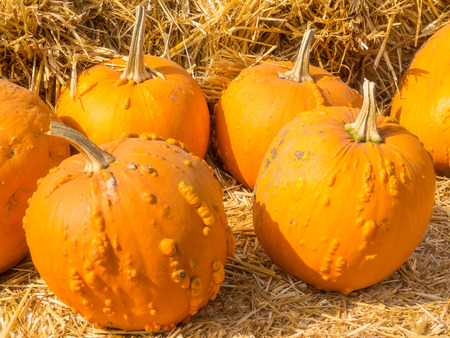 warts: Knucklehead pumpkins are bright to deep orange in color and covered in varying amounts of warts, scabs or bumps. Stock Photo