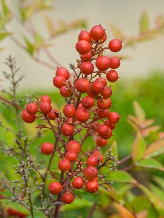 chaparral: California holly (Heteromeles arbutifolia) is a common perennial shrub native to extreme southwest Oregon, California and Baja California.