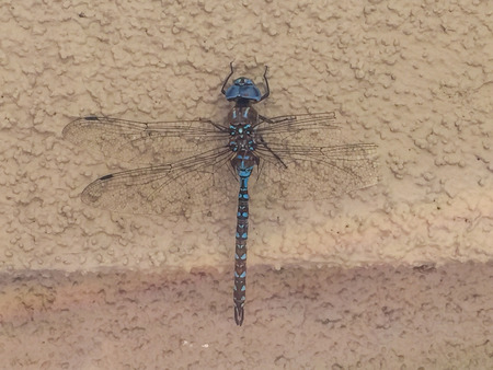 appendage: Blue-eyed darner (Aeshna multicolor) is a dragonfly of the family Aeshnidae. Stock Photo