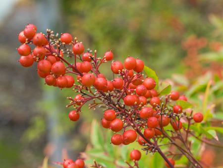 sharply: California holly (Heteromeles arbutifolia) is a common perennial shrub native to extreme southwest Oregon, California and Baja California.