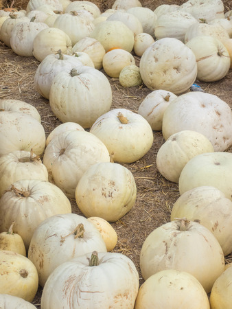 Lumina pumpkins are mid-sized, with white to cream colored skin and broad ribbing.