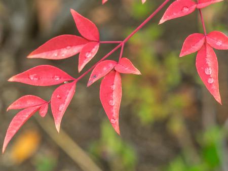 baja california: California holly (Heteromeles arbutifolia) is a common perennial shrub native to extreme southwest Oregon, California and Baja California.