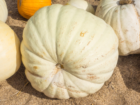 boer: White Flat Boer Ford is an edible pumpkin in other parts of the world that can be used as an ornamental decoration for Halloween and Fall.
