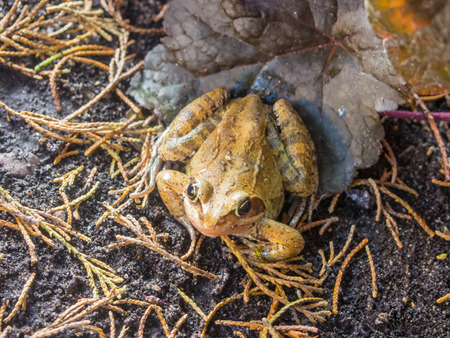 green brown: European grass frog (Rana temporaria) is a semi-aquatic amphibian of the family Ranidae, found throughout much of Europe.