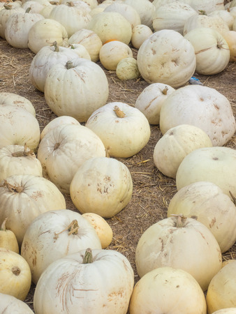 cream colored: Lumina pumpkins are mid-sized, with white to cream colored skin and broad ribbing.