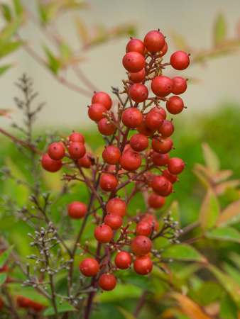 astringent: California holly (Heteromeles arbutifolia) is a common perennial shrub native to extreme southwest Oregon, California and Baja California.