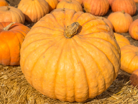 Long Island Cheese Pumpkin is medium-large, flattened, medium-ribbed, suggesting a wheel of cheese.