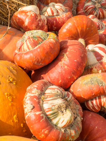 reminiscent: Turban Squash has colors that vary from bright orange, to green or white.  It has golden-yellow flesh and its taste is reminiscent to hazelnut. Stock Photo
