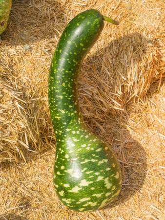 white necked: Speckled Swan gourd is graceful long necked gourds uniformly bent along the neck, resembling the arch of a swan's neck with a characteristic head and beak. Gourds are bright green with white speckles and splotches.