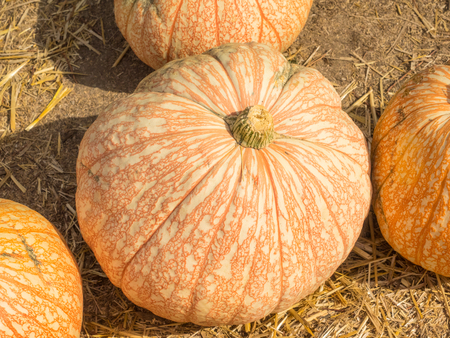 reddish: One Too Many pumpkin variety produce white fruit that are laced with reddish colored veins. Stock Photo