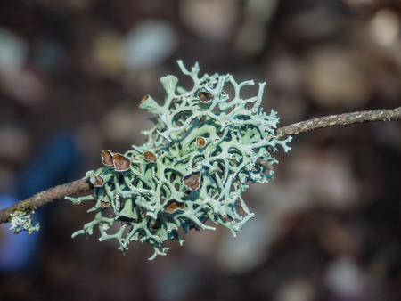 Oakmoss (Evernia prunastri) is a species of lichen that can be found in many mountainous temperate forests throughout the Northern Hemisphere.