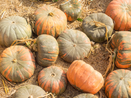 cures: Fairytale pumpkin is deeply ribbed and has a very smooth hard surface. It is dark green in color when immature, and as it cures it turns a gorgeous deep mohagony.