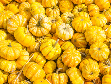mini farm: Tiger is miniature pumpkin with mottled orange over a yellow base. Ribs are pronounced at the top and fade to a smooth bottom.