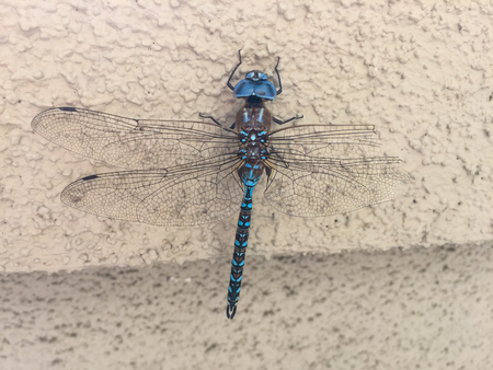 dragonfly wing: Blue-eyed darner (Aeshna multicolor) is a dragonfly of the family Aeshnidae. Stock Photo