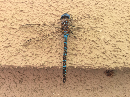 anal: Blue-eyed darner (Aeshna multicolor) is a dragonfly of the family Aeshnidae. Stock Photo