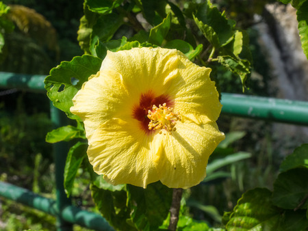 malvaceae: Hawaiian hibiscus (Hibiscus rosa-sinensis) is a species of tropical hibiscus, a flowering plant in the Hibisceae tribe of the family Malvaceae.