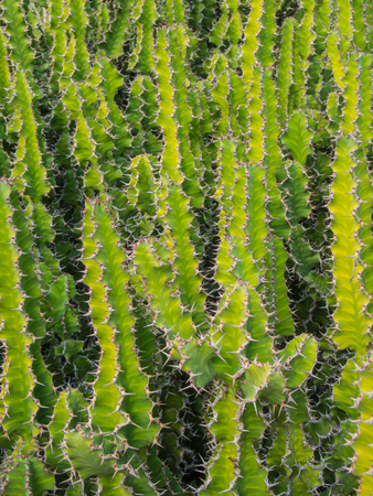 candelabrum: Candelabra cactus (Euphorbia lactea) is a species of spurge native to tropical Asia, mainly in India. Stock Photo