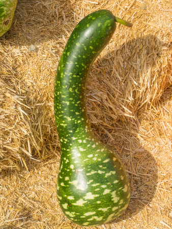 white necked: Speckled Swan gourd is graceful long necked gourds uniformly bent along the neck, resembling the arch of a swan�s neck with a characteristic head and beak. Gourds are bright green with white speckles and splotches. Stock Photo
