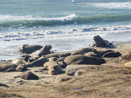 nuevo: Northern elephant seal (Mirounga angustirostris) is one of two species of elephant seal that lives in the eastern Pacific Ocean. Feeding grounds extend from northern Baja California to northern Vancouver Island. Stock Photo