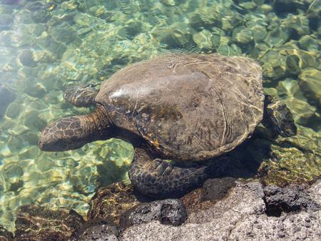 chelonia: Green sea turtle (Chelonia mydas) is a large sea turtle of the family Cheloniidae. Stock Photo