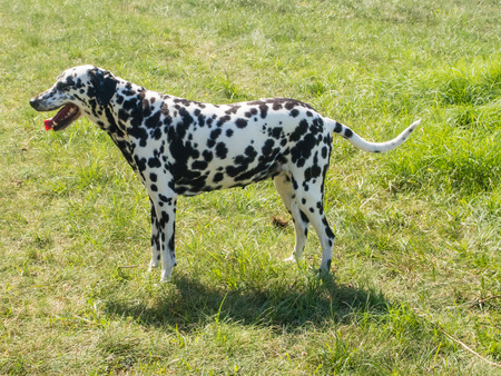 whose: The Dalmatian is a breed of dog whose roots are traced to Dalmatia, a region of Croatia.