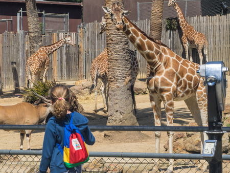 giraffa camelopardalis reticulata: Reticulated giraffe (Giraffa camelopardalis reticulata), also known as the Somali giraffe, is a subspecies of giraffe native to Somalia, southern Ethiopia, and northern Kenya. Stock Photo
