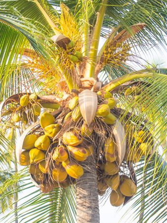 nucifera: Coconut Palm (Cocos nucifera) is a large palm with pinnate leaves. Stock Photo