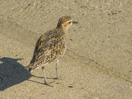 plover: Pacific golden plover (Pluvialis fulva) in non-breeding plumage. Stock Photo