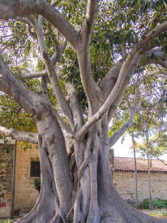 barbara: Moreton Bay Fig Tree located in Santa Barbara MIssion garden. Stock Photo