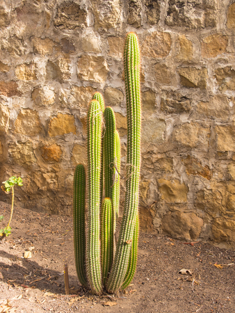 cactus species: Golden Torch Cactus (Echinopsis spachiana) is a species of cactus native to South America. Stock Photo