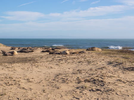 pinniped: Northern elephant seal (Mirounga angustirostris) is one of two species of elephant seal that lives in the eastern Pacific Ocean. Feeding grounds extend from northern Baja California to northern Vancouver Island. Stock Photo