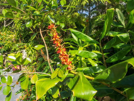 invasive plant: Kahili ginger (Hedychium gardnerianum) is a plant native to the Himalayas in India, Nepal, and Bhutan. Stock Photo
