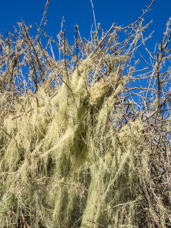 distinctive: Lace lichen (Ramalina menziesii) is a pale yellowish-green to grayish-green foliose lichen that grows up to a meter long, hanging from bark and twigs in a distinctive net-like or lace-like pattern that is unlike any other lichen in North America. Stock Photo