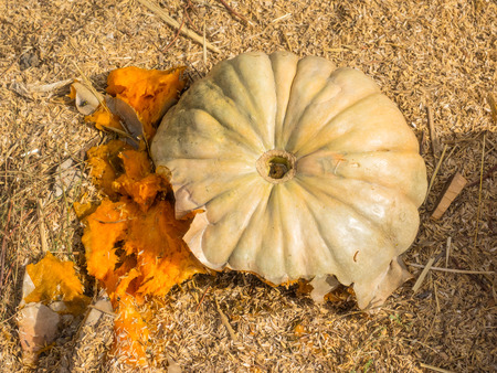 flattened: Jarrahdale Pumpkin is flattened like Cinderella but with a light bluegrey color. Deeply ribbed. Stock Photo