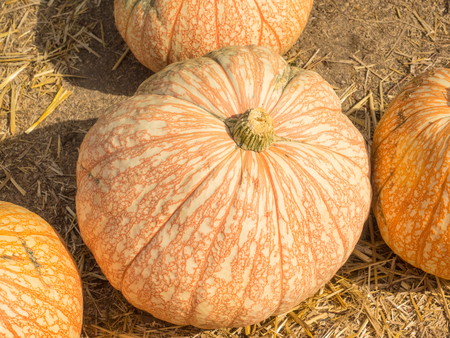 veining: One Too Many pumpkin variety produce white fruit that are laced with reddish colored veins. Stock Photo