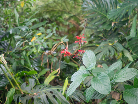tropical shrub: Clerodendrum speciosissimum is a tropical shrub of the family Lamiaceae, native to Indonesia and Papuasia