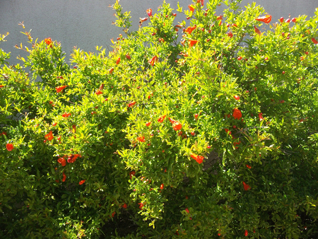 thorny: Flowering quince (Chaenomeles speciosa) is a thorny deciduous or semi-evergreen shrub native to eastern Asia.