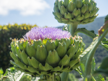 cardunculus scolymus: Artichoke head with flower in bloom