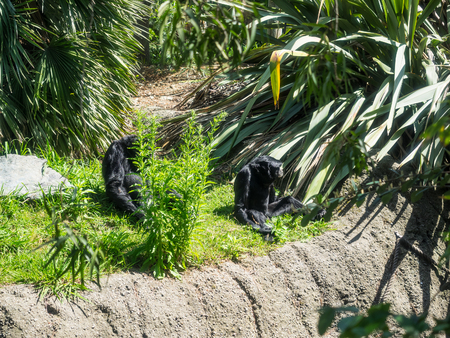 siamang: Siamang (Symphalangus syndactylus) is an arboreal black-furred gibbon native to the forests of Malaysia, Thailand, and Sumatra. Stock Photo