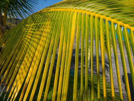 Coconut Palm (Cocos nucifera) is a large palm with pinnate leaves. Stock Photo