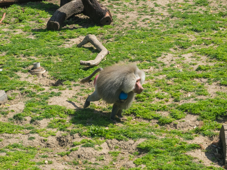 Hamadryas baboon (Papio hamadryas) is a species of baboon from the Old World monkey family. Stock Photo