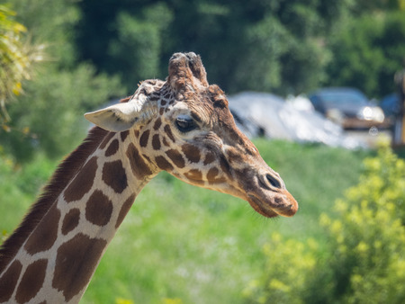 reticulated giraffe: Reticulated giraffe (Giraffa camelopardalis reticulata), also known as the Somali giraffe, is a subspecies of giraffe native to Somalia, southern Ethiopia, and northern Kenya. Stock Photo