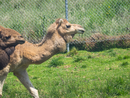 ungulate: Dromedary camel (Camelus dromedarius) is a large, even-toed ungulate with one hump on its back.